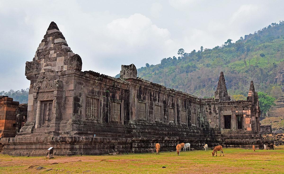 grazende koeien bij tempel van wat phu