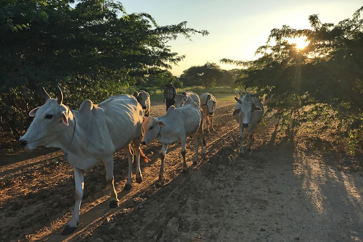 Boer met koeien op de velden rondom Bagan.