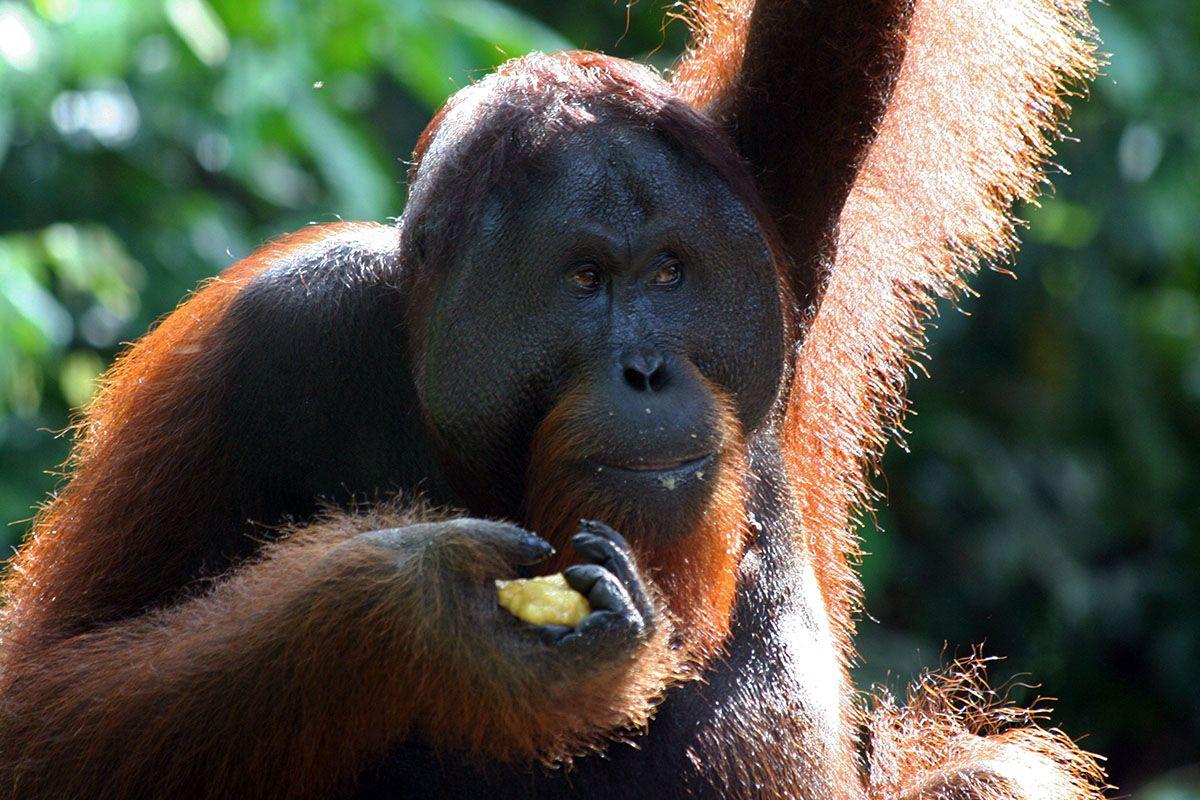 Orang oetang op Borneo
