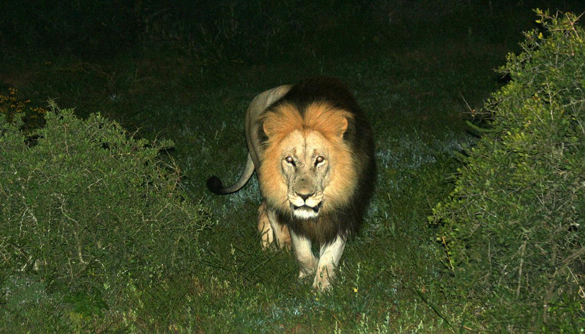 Leeuw in de nacht in Addo Elephant National Park