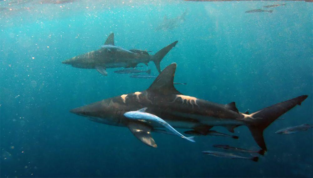 duiken met tijgerhaaien bij Aliwal Shoal, Durban, Zuid-Afrika