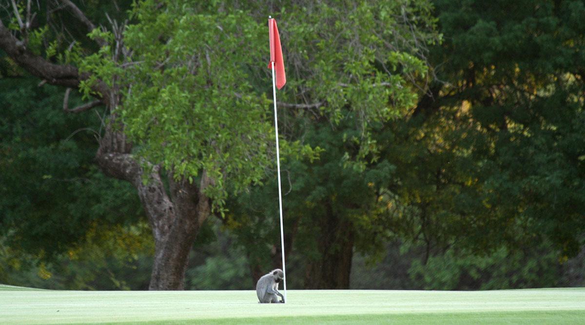 aap op de green van golfclub Hans Merensky