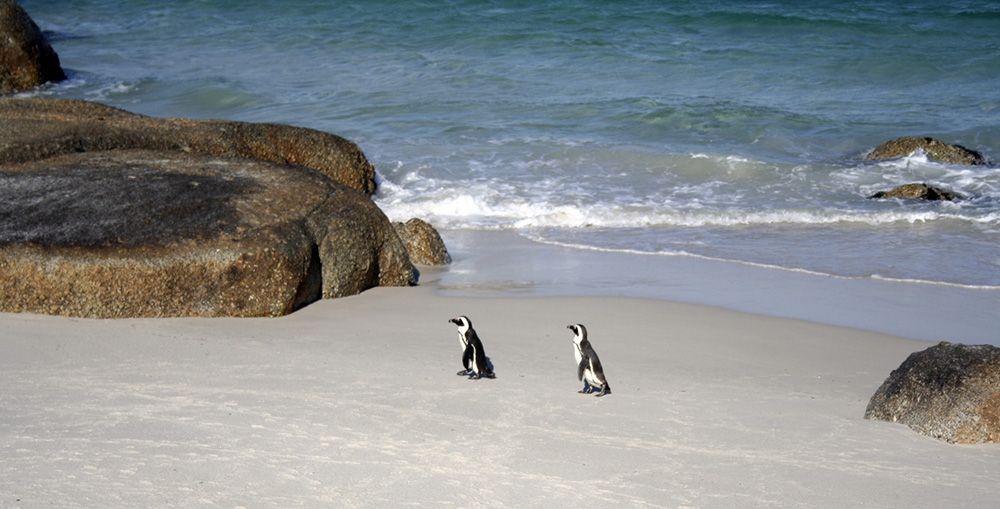 Pinguiïns op een strand bij Kaapstad