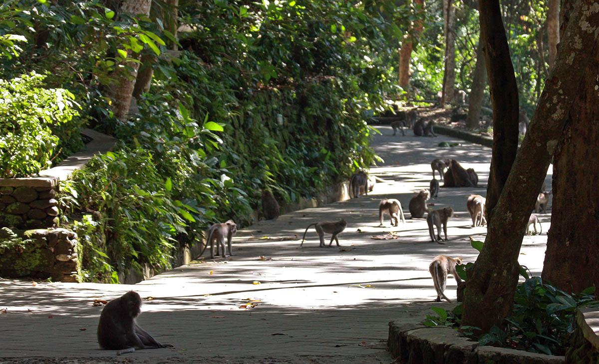 Veel apen op een pad in het monkey forest.