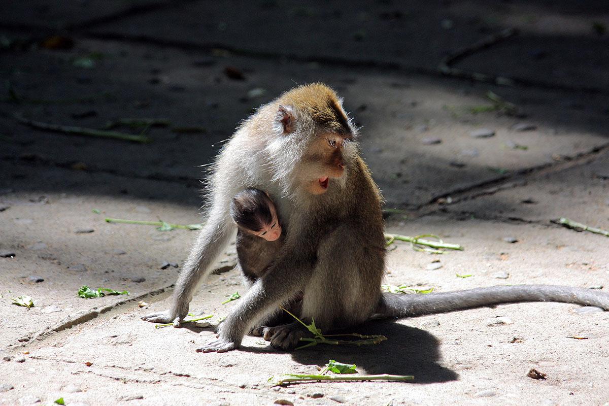 Kijk uit voor apen - Monkey Forest op Bali