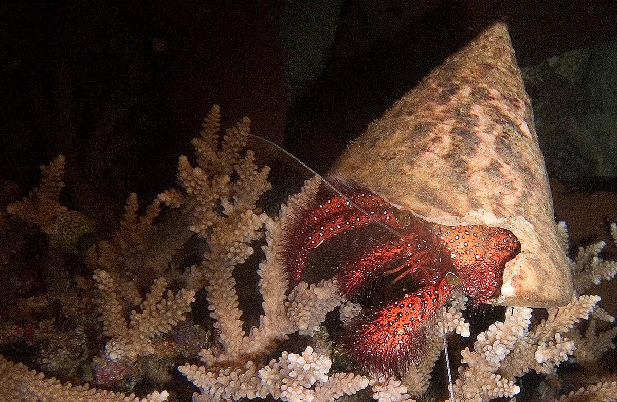 Duiken in noord-sulawesi brengt je oog in oog met een krab.