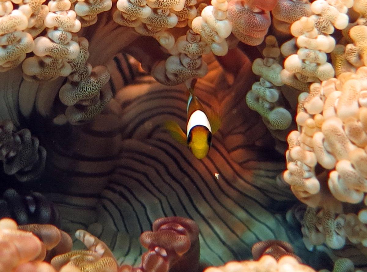 Finding Nemo bij Raja Ampat.