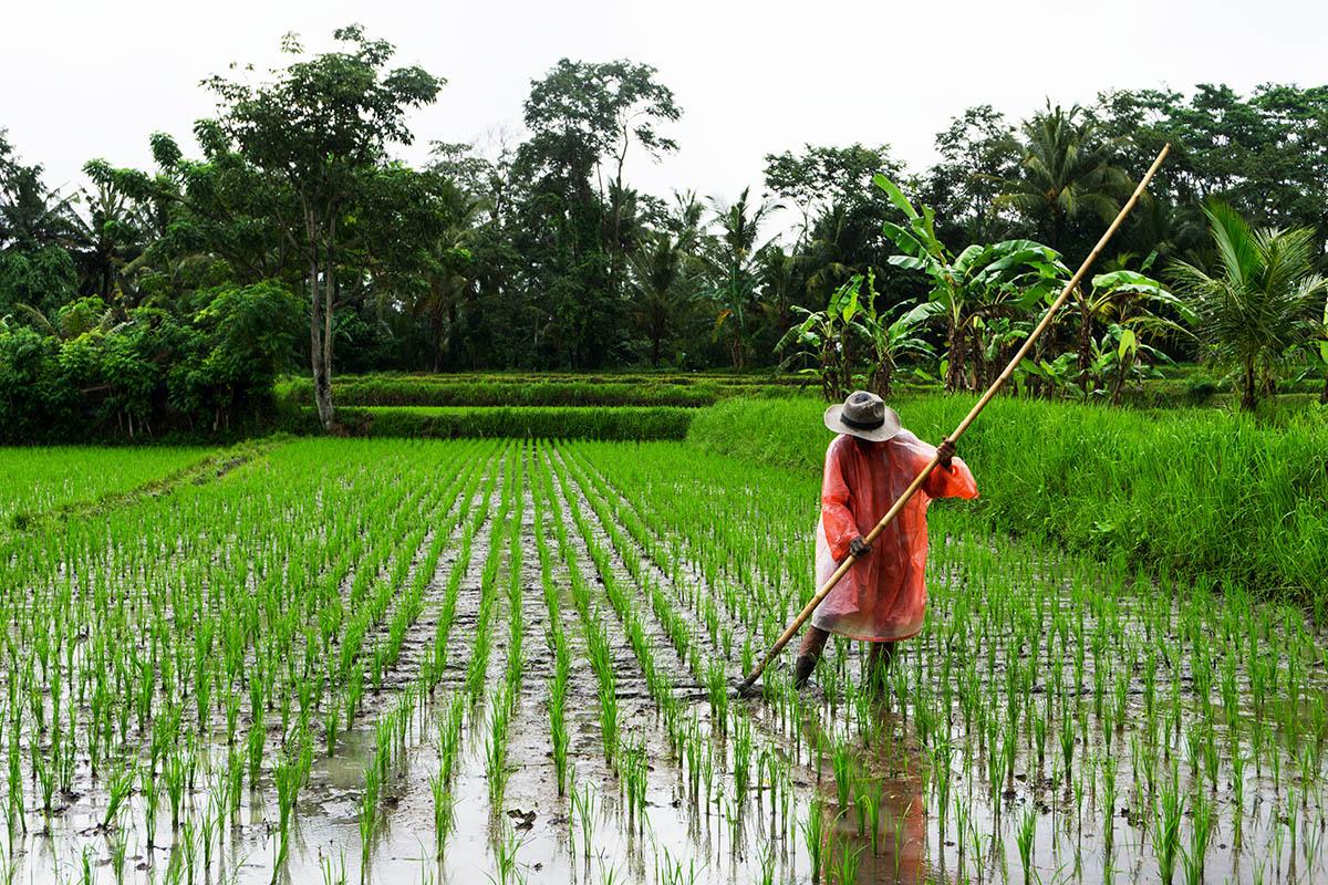 Boer werkt in de regen op sawa op Bali.