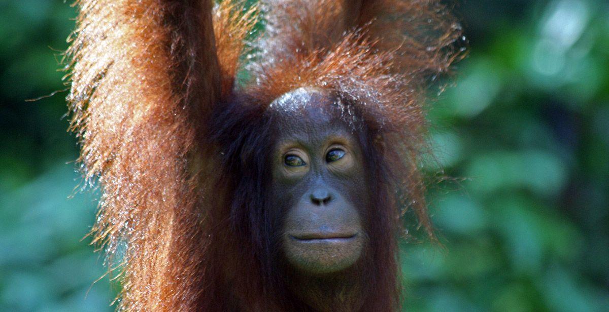 Aap op Kalimantan.