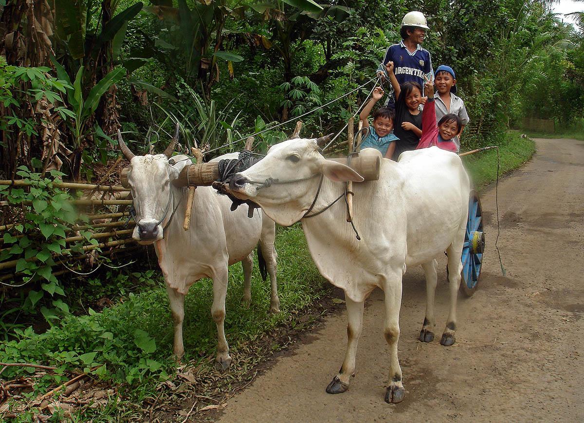 Boer met kinderen op door ossen getrokken kar in sulawesi.