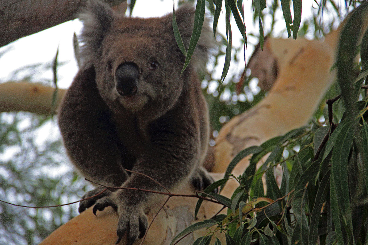 Koala bij de Great Ocean Road, Australië