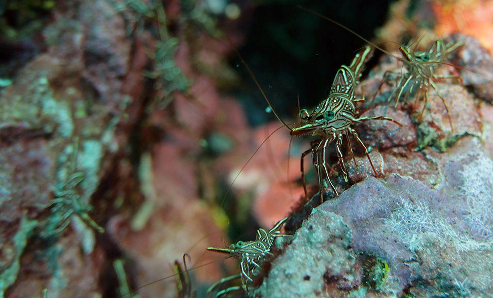 Garnalen onderwater, Similan eilanden, Thailand