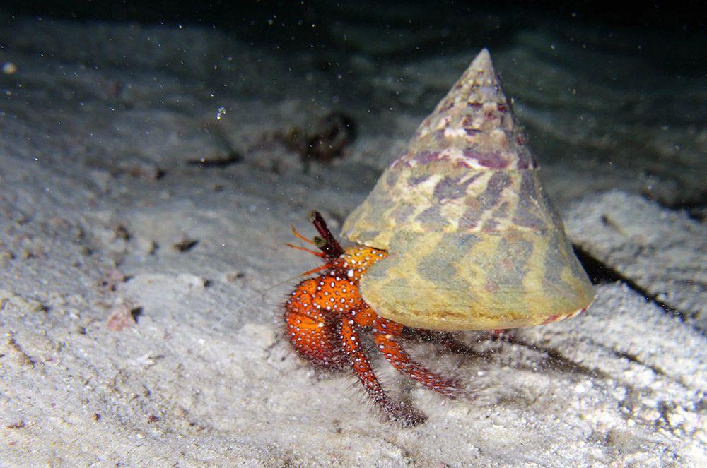 Krabbetje onderwater bij de Similan eilanden, Thailand