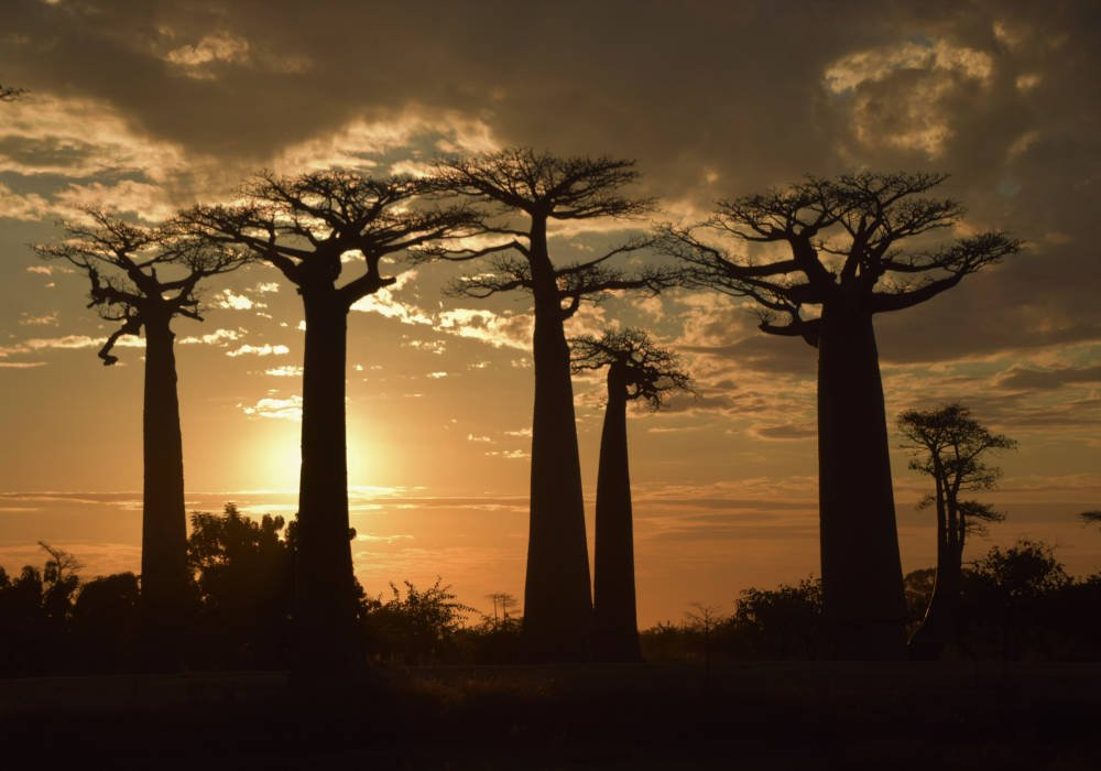 Baobabs in Madagaskar