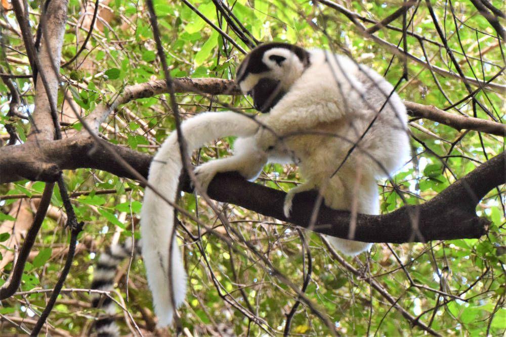 Witte Maki bij Isalo, Madagaskar