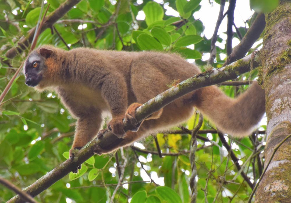 Lemuur in Ranomafana, Madagaskar