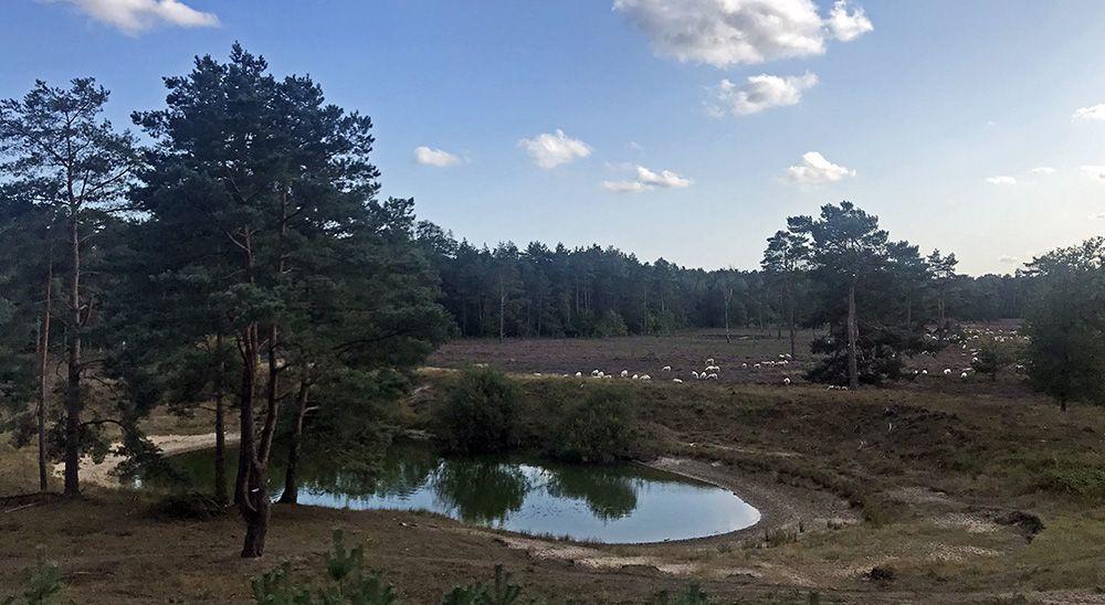 vijver met heide en schapen vlakbij de Kozakkenput