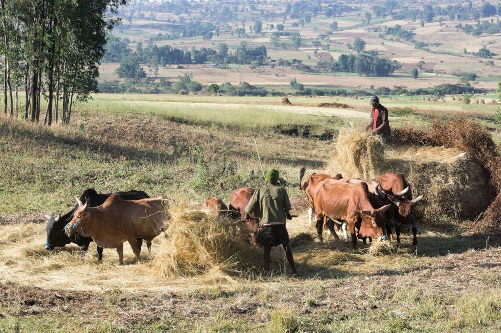 De oogst bij Lalibela