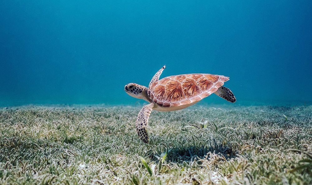 schildpad bij Aruba