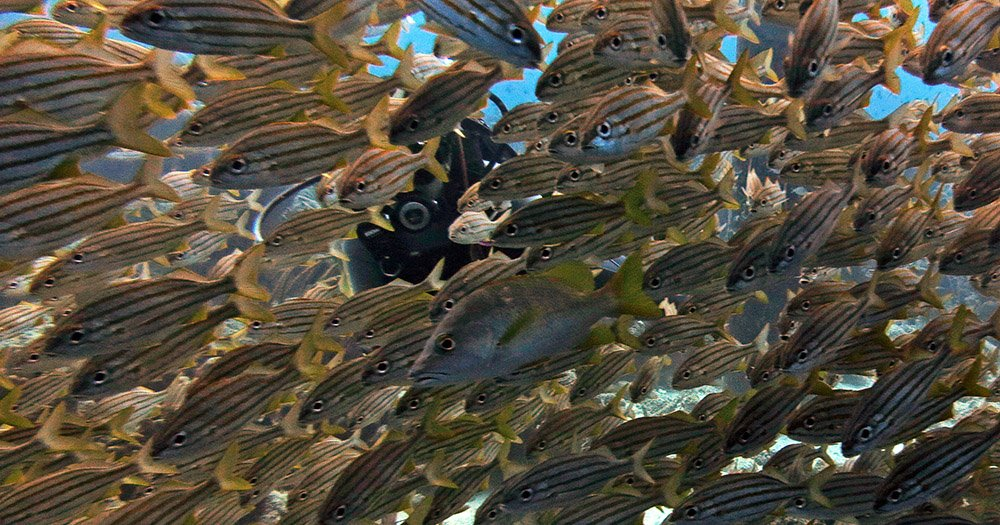 veel vissen en een duiker