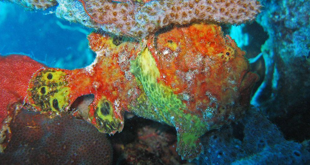 frogfish op Curaçao