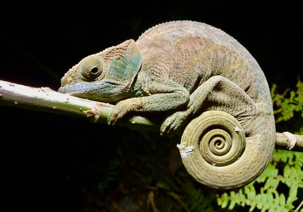 Kameleon in Ranomafana