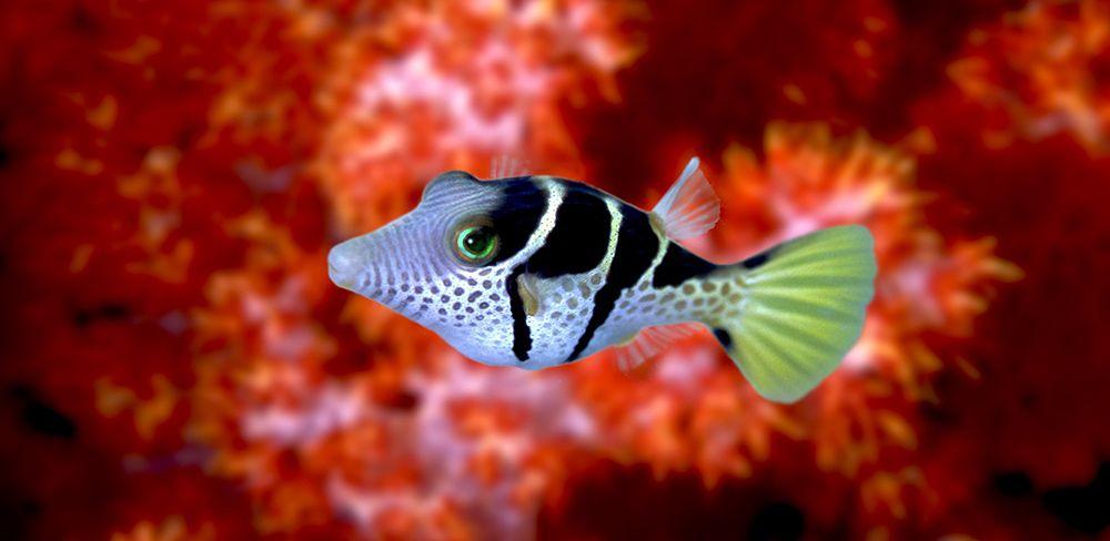 juvenile box fish