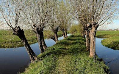 Wandeling bij Oudewater: knotwilgen in 't Groene Hart