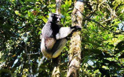 Andasibe National Park: op zoek naar de Indri's