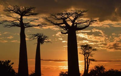 Allée des Baobabs, de beroemdste weg van Madagaskar