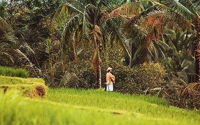 De smaragdgroene sawa's van Bali