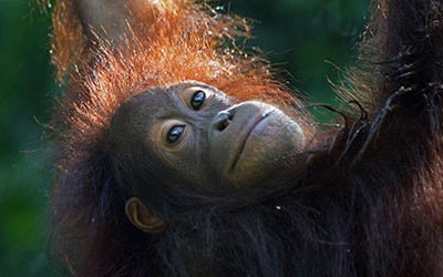 Op bezoek bij de orang oetans van Sepilok