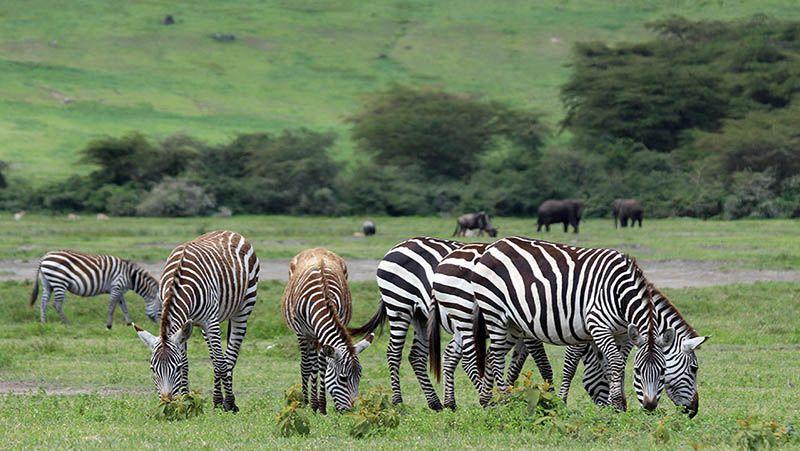 Zebra's in Ngorongoro, Tanzania