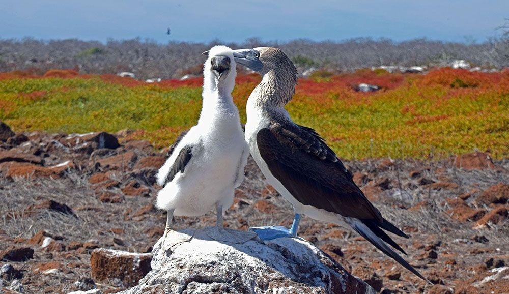 Blue footed booby met jong op de galapagos eilanden in Ecuador