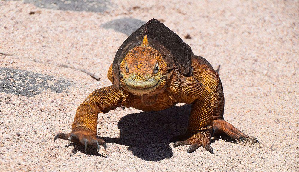 Leguaan op de Galapagos eilanden in Ecuador.