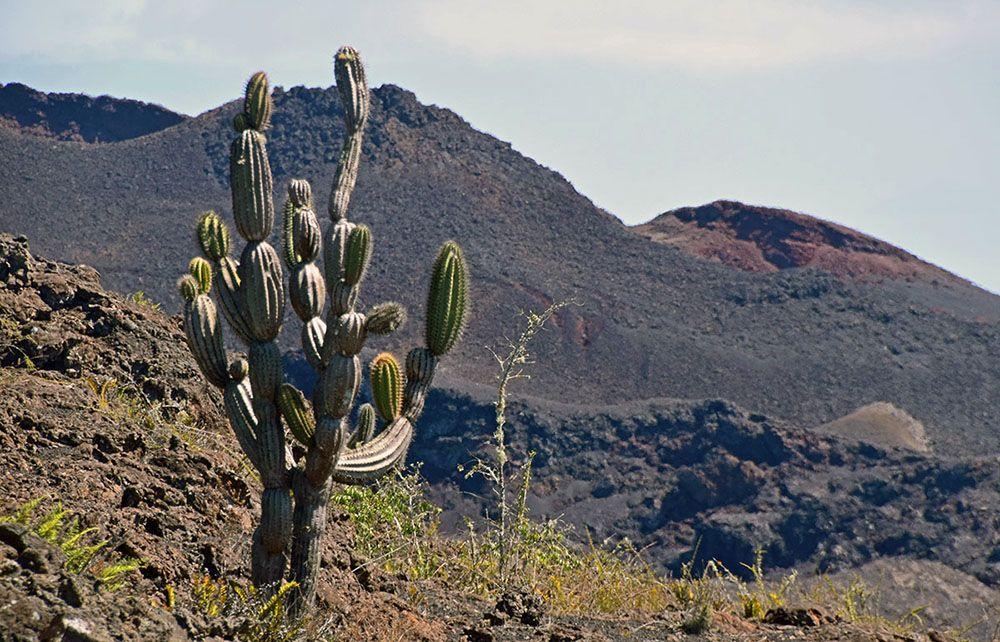 cactus in ruig landschap op de galapagos eilanden.