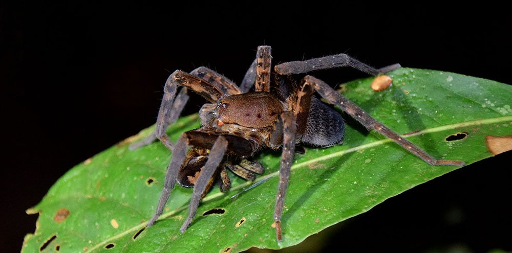 Spin op blad in de nacht in Cuyabeno Reserve.