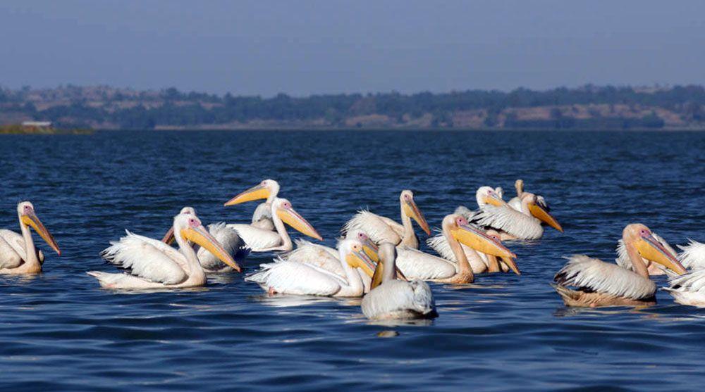 Pelikanen in Noord-Ethiopië