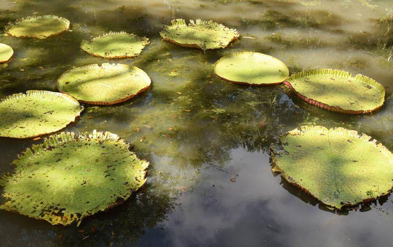 Lelies in Pamplemousses Botanical Garden
