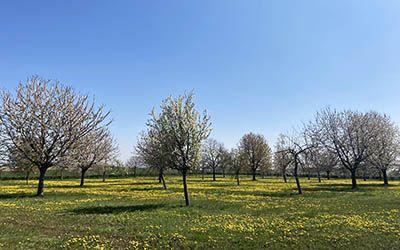 Bloesemwandeling bij het Zuid-Limburgse Margraten