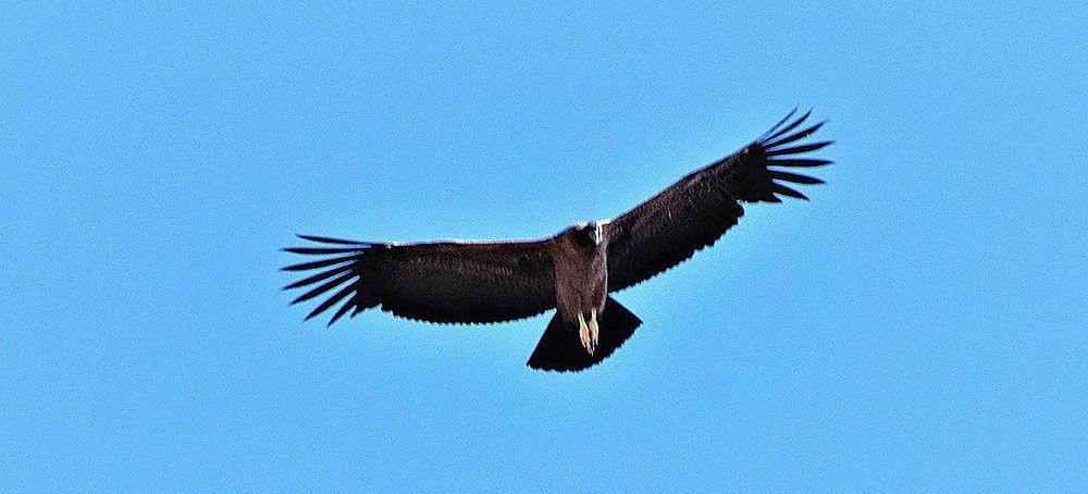 Condor met enorme spanwijdte bij de Colca Canyon