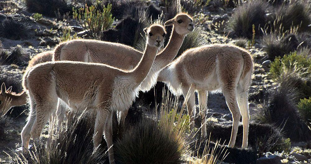 Drie vicuna's grazen bij de Colca Canyon