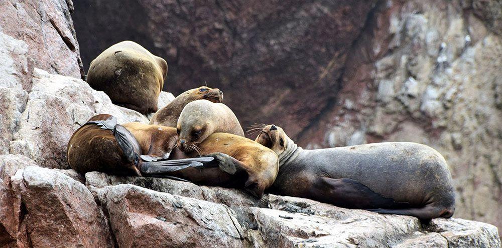 Zeehonden slapen op de rotsen van Islas Ballestas