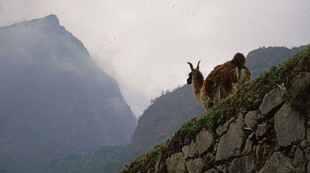 Een lama staat op de muur bij Machu Picchu