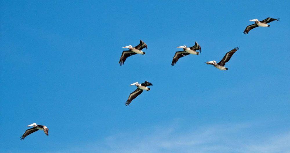 Een aantal pelikanen vliegt door de lucht bij Islas Ballestas