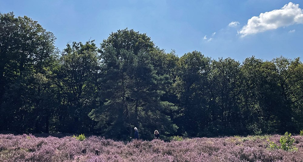 Bloeiende heide op de Helena heuvel